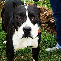"""Pit Bull Terrier Mix Dog for adoption in Lubbock, Texas - Walter """"Wally"""""""