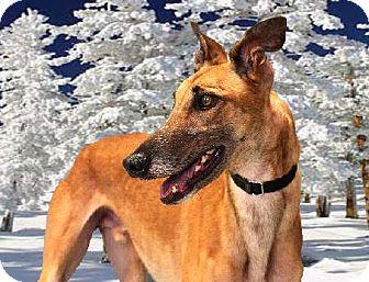 Greyhound Dog for adoption in Spencerville, Maryland - Diezal