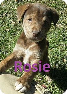 Australian Cattle Dog Mix Puppy for adoption in Augusta, Maine - Rosie