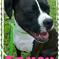 Boxer/American Bulldog Mix Dog for adoption in Jacksonville, Florida - Fancy