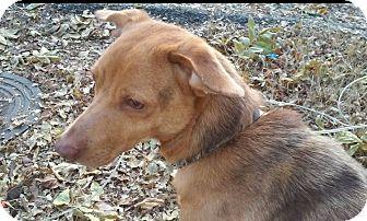 Dachshund/Beagle Mix Dog for adoption in Washington, D.C. - Blue