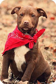 Pit Bull Terrier/Terrier (Unknown Type, Medium) Mix Puppy for adoption in Harrisburg, Pennsylvania - Waldo