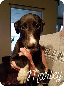 Greyhound/Irish Wolfhound Mix Puppy for adoption in Augusta, Maine - A - MARLEY