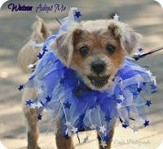 Poodle (Miniature)/Schnauzer (Miniature) Mix Dog for adoption in Charlotte, North Carolina - Watson