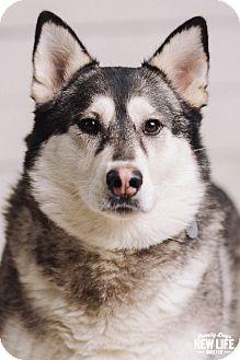 Alaskan Malamute Mix Dog for adoption in Portland, Oregon - Misti