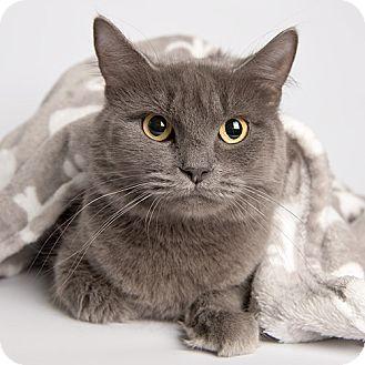 Domestic Mediumhair Cat for adoption in Wilmington, Delaware - Boli