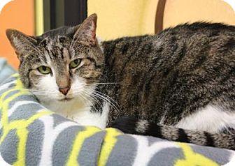 Domestic Shorthair Cat for adoption in Benbrook, Texas - Zelda