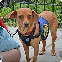 Adopt A Pet :: Violet - Washington, DC