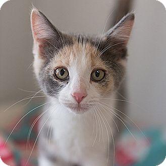 Domestic Shorthair Cat for adoption in Kanab, Utah - Rogue