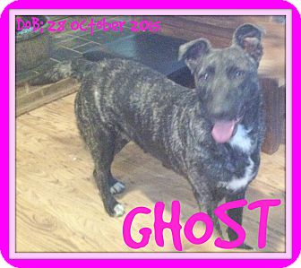 Dutch Shepherd Mix Dog for adoption in Manchester, New Hampshire - GHOST