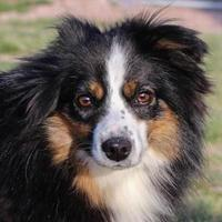 Adopt A Pet :: Rugby - Colorado Springs, CO