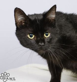Domestic Shorthair/Domestic Shorthair Mix Cat for adoption in Tinley Park, Illinois - Victor (FIV+)