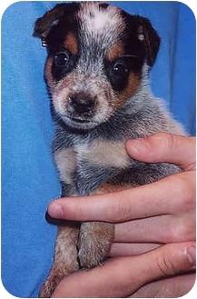 Blue Heeler/Terrier (Unknown Type, Medium) Mix Puppy for adoption in Owatonna, Minnesota - Dirk