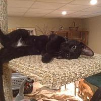 Adopt A Pet :: Stella (4) - Pendleton, NY