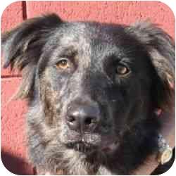 Australian Shepherd Mix Dog for adoption in Berkeley, California - Zuko