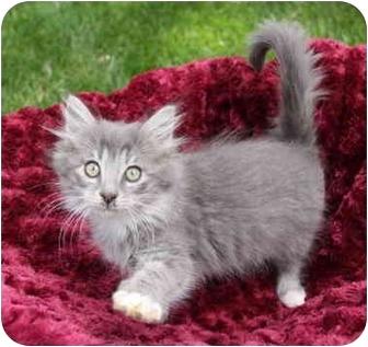 Himalayan Kitten for adoption in Newport Beach, California - CARMEN