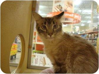 Oriental Cat for adoption in Owasso, Oklahoma - Arial