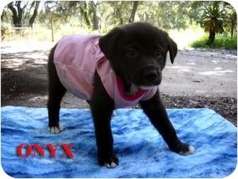 Border Collie Mix Puppy for adoption in Weeki Wachee, Florida - Onyx