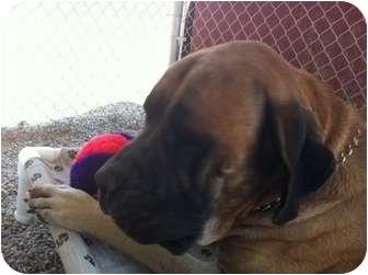 Mastiff Dog for adoption in San Fernando Valley, California - Niko