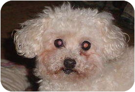 Poodle (Miniature) Mix Dog for adoption in Metamora, Indiana - Honey