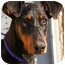 Photo 1 - Doberman Pinscher Dog for adoption in Westport, Connecticut - *Alice - PENDING
