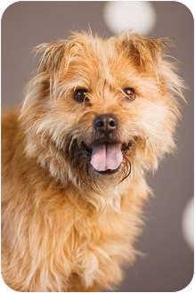 Petit Basset Griffon Vendeen/Brussels Griffon Mix Dog for adoption in Portland, Oregon - Frank