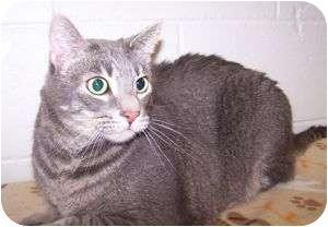 Domestic Shorthair Cat for adoption in Colorado Springs, Colorado - Ben (Jake)