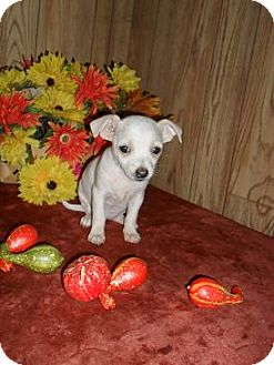 Chihuahua Puppy for adoption in Chandlersville, Ohio - Abby