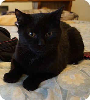 Domestic Shorthair Kitten for adoption in St. Louis, Missouri - Mozart