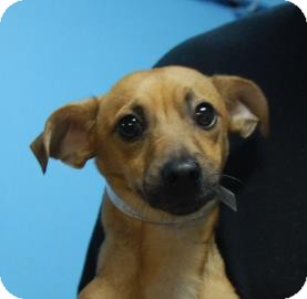 Chihuahua Mix Puppy for adoption in Brooklyn, New York - Peewee