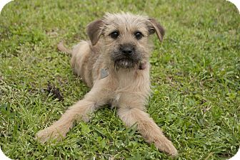 Terrier (Unknown Type, Small) Mix Dog for adoption in Humble, Texas - Biscuit