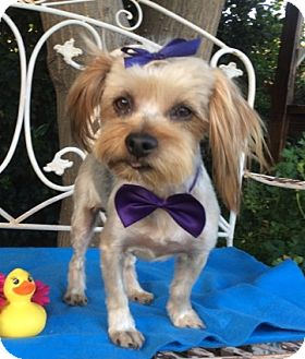 Yorkie, Yorkshire Terrier Mix Dog for adoption in Irvine, California - Toby