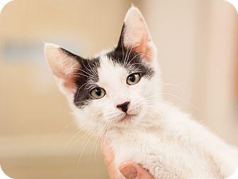 Siamese Kitten for adoption in Dallas, Texas - Clover - Tulip's kitten