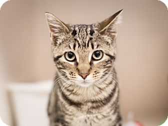 Bengal Cat for adoption in Dallas, Texas - Chanel