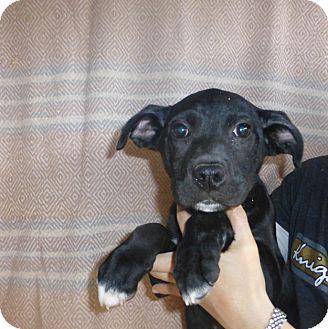 Boxer/Labrador Retriever Mix Puppy for adoption in Oviedo, Florida - Poe