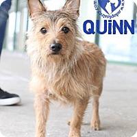 Adopt A Pet :: Quinn - Newport, KY