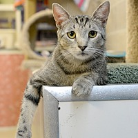 American Shorthair Cat for adoption in Whitehall, Pennsylvania - Anthony