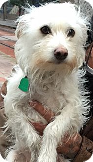 Westie, West Highland White Terrier Mix Dog for adoption in Frisco, Texas - APPLE-ADOPTED
