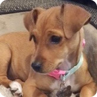 Dachshund Mix Puppy for adoption in Houston, Texas - Tabby Tee