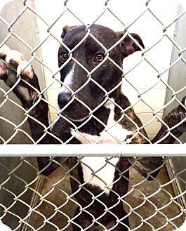 Labrador Retriever Mix Dog for adoption in Zanesville, Ohio - Brooklyn - ADOPTED!