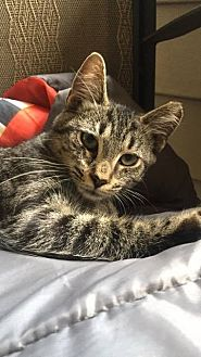 Domestic Shorthair Cat for adoption in Burlington, North Carolina - ATHENA 2