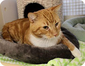 Domestic Shorthair Cat for adoption in Newport Beach, California - REYNOLDS