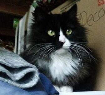 Domestic Longhair Cat for adoption in San Jose, California - Baldy