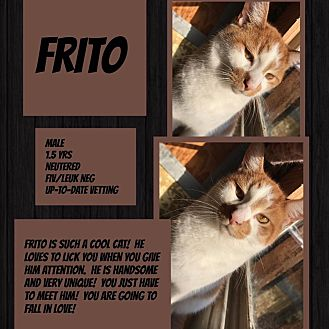 Domestic Shorthair Cat for adoption in CLEVELAND, Ohio - Frito