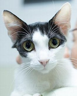 Domestic Shorthair Cat for adoption in Pt. Richmond, California - WENDY