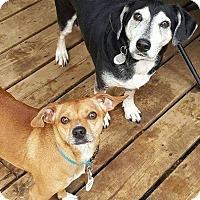 Adopt A Pet :: SHOTGUN - Toronto, ON
