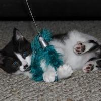 Adopt A Pet :: Spring 1 ( Green Collar) - Baltimore, MD