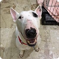 Adopt A Pet :: Norm - Houston, TX