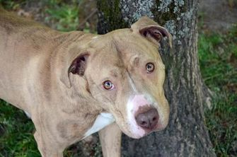 American Pit Bull Terrier Mix Dog for adoption in Spartanburg, South Carolina - China