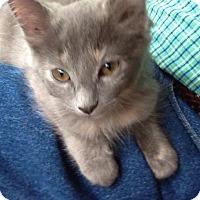 Adopt A Pet :: Kitten Louisa - Cumberland, ME